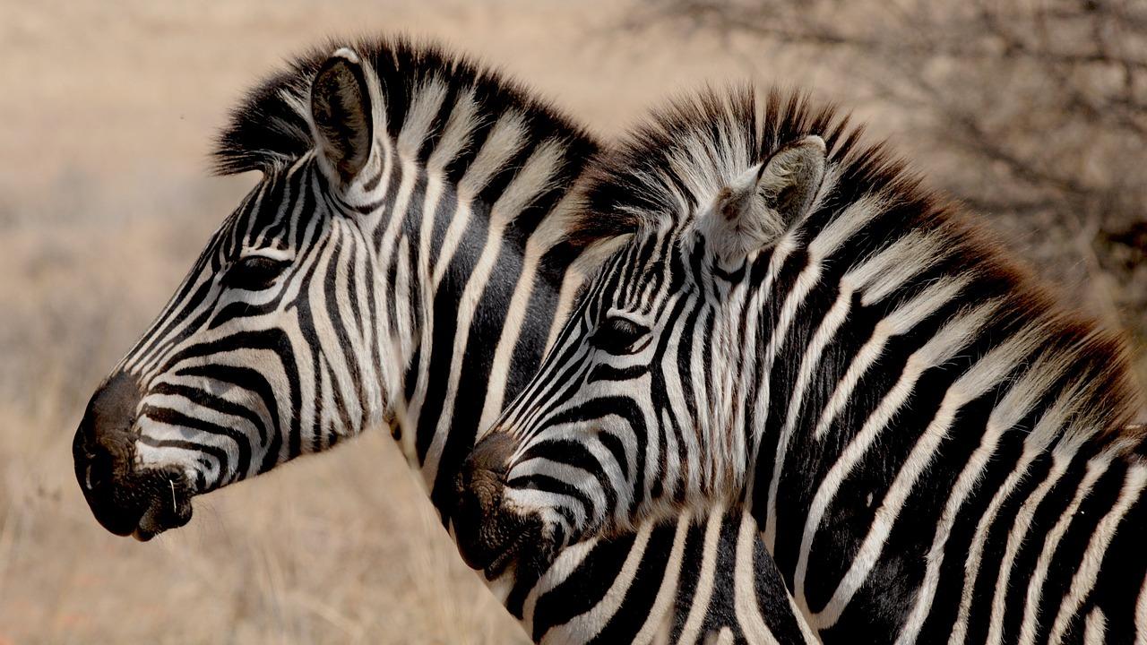 zebra-927272_1280
